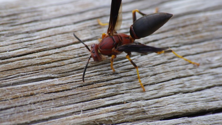 Unidentified_Red_Wasp_7756663840-848x480
